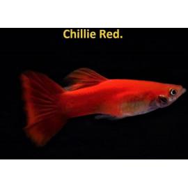 Guppy male rouge chili (ml) 3.5 cm poecilia reticulata