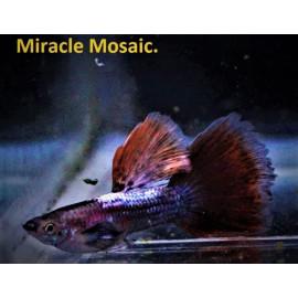 Guppy male miracle mosaique (ml) 3.5 cm poecilia reticulata