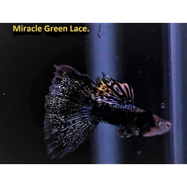 Guppy male miracle green lace (l) 4.00 cm poecilia reticulata