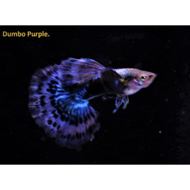 Guppy male dumbo purple (l) 4.00 cm poecilia reticulata