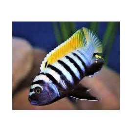 Cynotilapia afra yellow reef (m) 4-5 cm