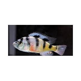 Haplochromis obliquidens zebra (m) 3-3.5 cm