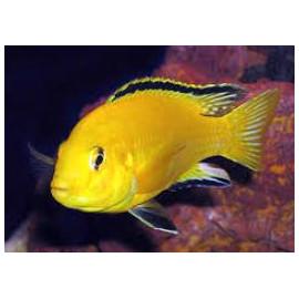 Labidochromis caeruleus jaune citron (m) 4.5 cm