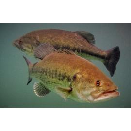 Black bass micropterus salmoides 20 - 30 cm