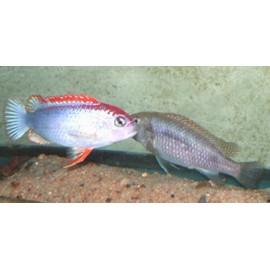 Pseudotropheus red top n' dumbi (m) 4-5 cm