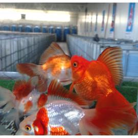orandas voile ryukin rouge 13-14 cm