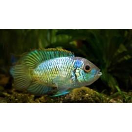 Nannacara Anomala Blue Neon 3.5-4 cm