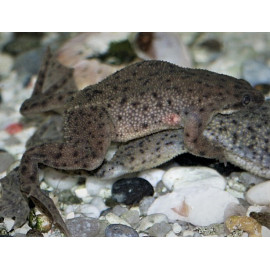 Hymenochirus boettgeri -  grenouille a points (m) 2-2.5 cm