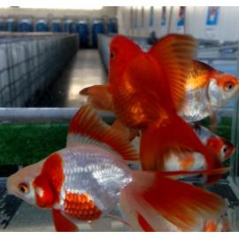 Assortiment de voile de Chine - assortiment de fantail 4-5 cm