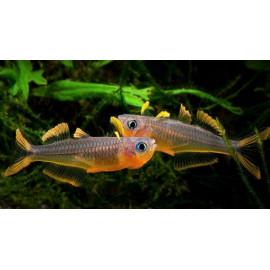 Popondichthys furcata - Pseudomugil Furcatus   2.50 cm