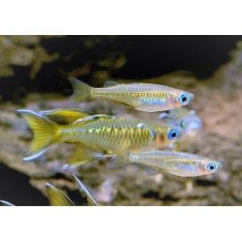 Pseudomugil signifer yeux bleus   1.5-2 cm