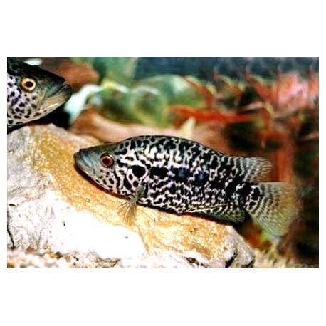 Cichlasoma managuense  7-8 cm