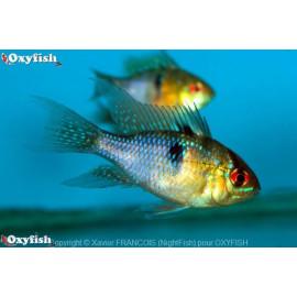 Microgeophag. ramirezi ramirezi bleu  4.50 cm