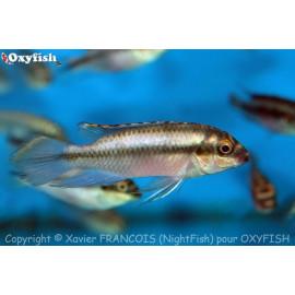 Pelvicachromis pulcher kribensis  4.00 cm
