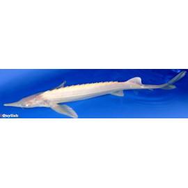 Esturgeon albino Chocolat  50-60 cm  4KG