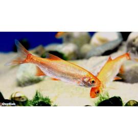 Leuciscus idus gold ide melanote dore 8-12 cm