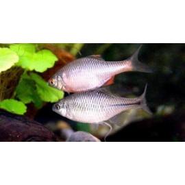 Rhodeus sericeus bouviere  3-4 cm