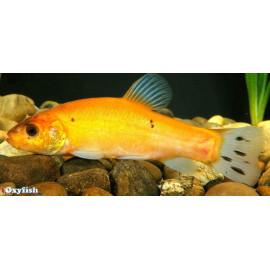 Tanche jaune doree tinca tinca 25-30 cm poisson d'or