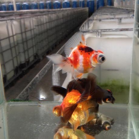Assortiment de voile de chine fantail red cap-calico-b moor-rge/bl 5-7 cm
