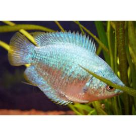 Colisa Lalia femelle Corail Bleu 4.5 cm