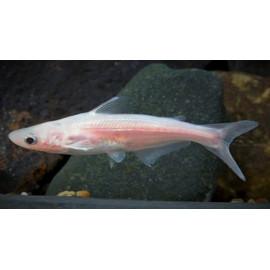 Pangasius hypophthalmus albino requin siamois albino (ml) 6.5 cm