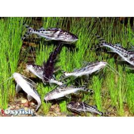 Pimelodus pictus pois. chat argente pts noirs sauvage (ml) 7-10 cm
