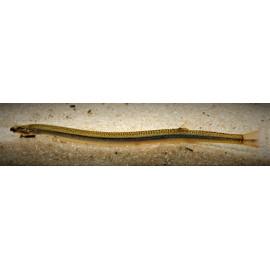 Acanthopthalmus Anguillaris Noire Ligne Jaune 8-9 cm