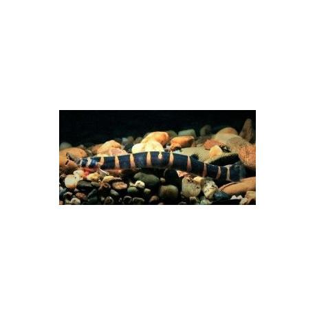 Acanthopthalmus Myersi Kuhli Marbré -  6.00 cm