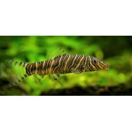 Botia striata loche striee zebre  4-5 cm