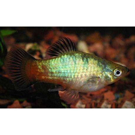Platy Rainbow 3.50 cm Xiphophorus maculatus