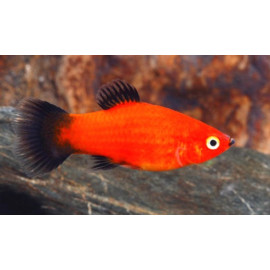 Platy Rouge Wagtail 3.50 cm Xiphophorus maculatus