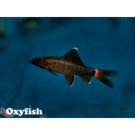 Labeo bicolor requin noir queue rouge (m) 5.0 cm