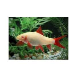Labeo Frenatus Requin Albino nageoires rouges 4.5 cm