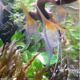 Pterophyllum scalare manacapuru red back 3-3.5 cm