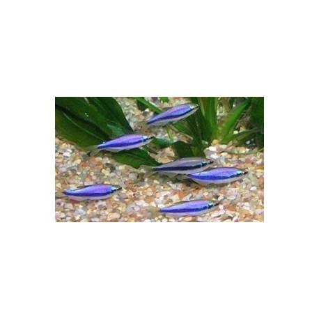 Impaichthys kerri tetra empereur bleu  3.00 cm elevage