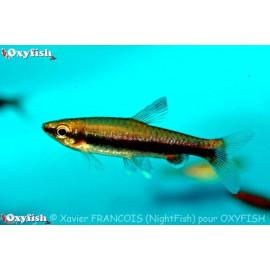 Nannostomus Nitidus -- poisson crayon rouge 3.00 cm
