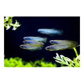 Aplocheilichthys Normani Yeux Phosphorescents  3-3.5 cm