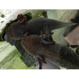 Axolotl sauvage brun tachete 20-23 cm ambystoma mexicanum Elevage