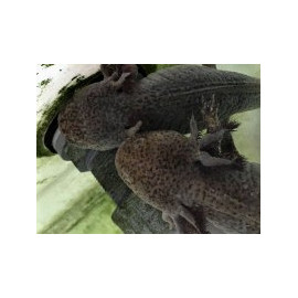 Axolotl sauvage brun tachete 8-12 cm ambystoma mexicanum élevage