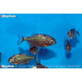 Serrasalmus nattereri piranha ventre rouge 3.00 cm