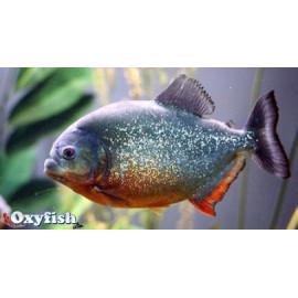 Serrasalmus nattereri piranha ventre rouge  5-6 cm
