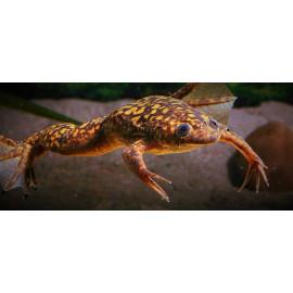 Xenopus laevis grenouille brune à points - 3.00 cm