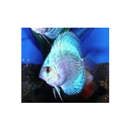 Symphysodon aequifa. cobalt blue   6-7 cm