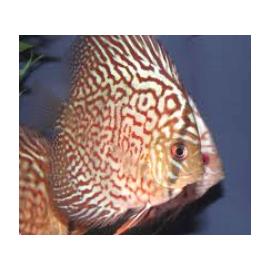 Symphysodon aequifa. discus turquoise rouge (m) 5-6 cm