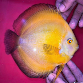 Symphysodon aequifa. golden   6-7 cm