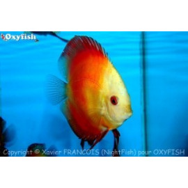 Symphysodon aequifa. red melon (ml)  7-8 cm