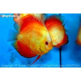 Symphysodon aequifa. red melon (xl)  11-12 cm