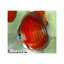 Symphysodon aequifa. rose red   6-7 cm
