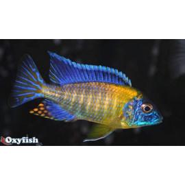 Aulonocara bleu neon (m) 4-5 cm