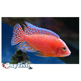 Aulonocara Fire Red Dragon 4-5 cm